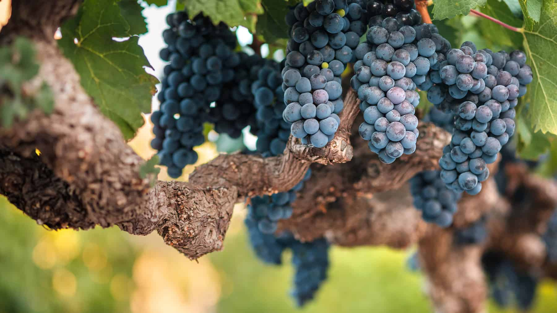 Bunches of cabernet wine grapes on old vine