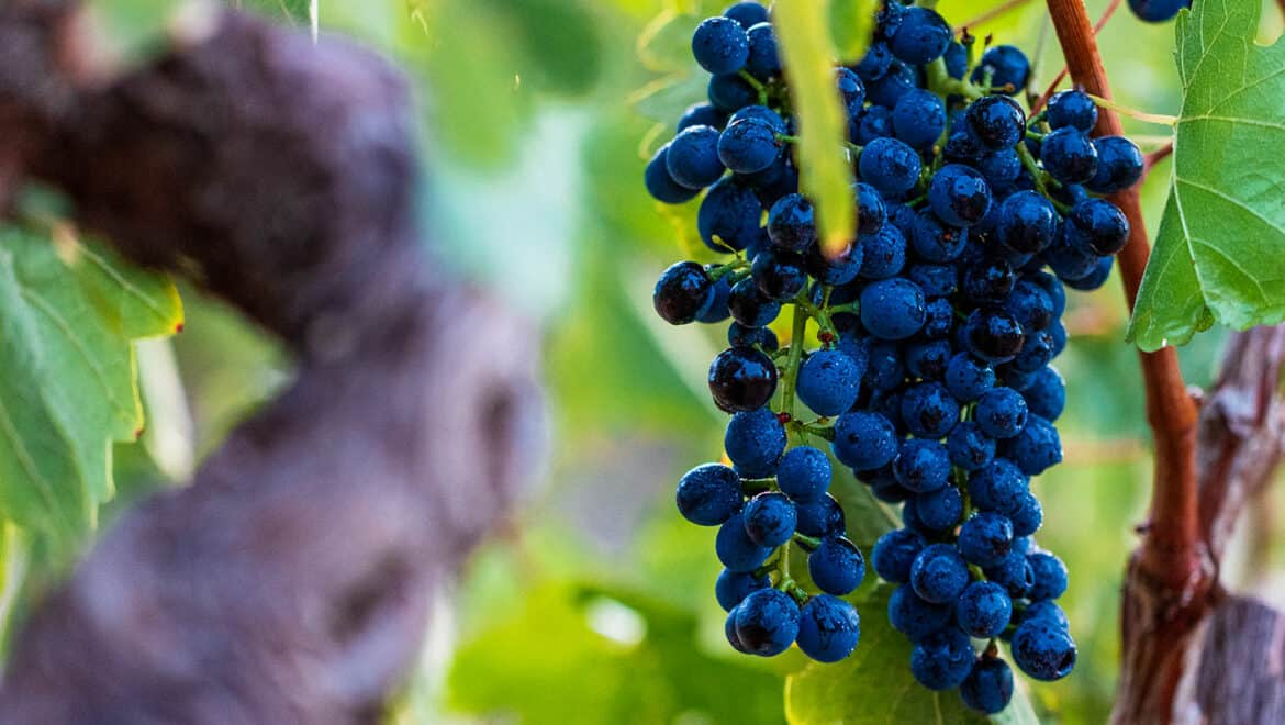 Shiraz  – Grapes from down-under